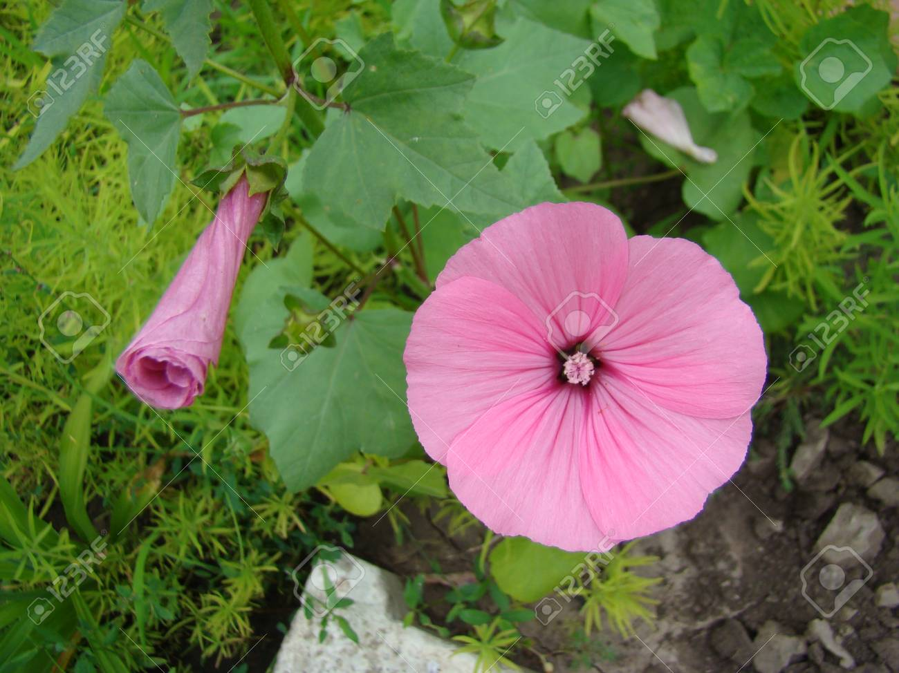 Lavatera growing from seed 91