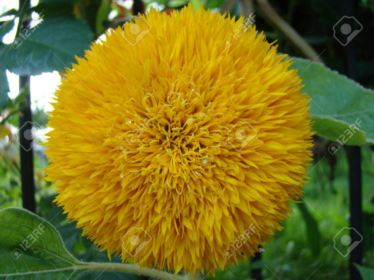 A type of sunflowernflower yellow flower can be of different a type of sunflowernflower yellow flower can be of different types as a decorative mightylinksfo