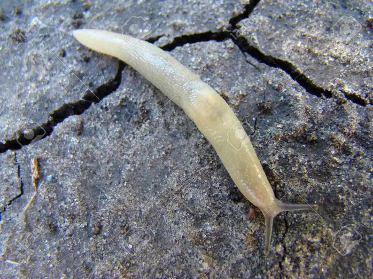 slug eating a strawberry a pest of gardens gastropod mollusk stock