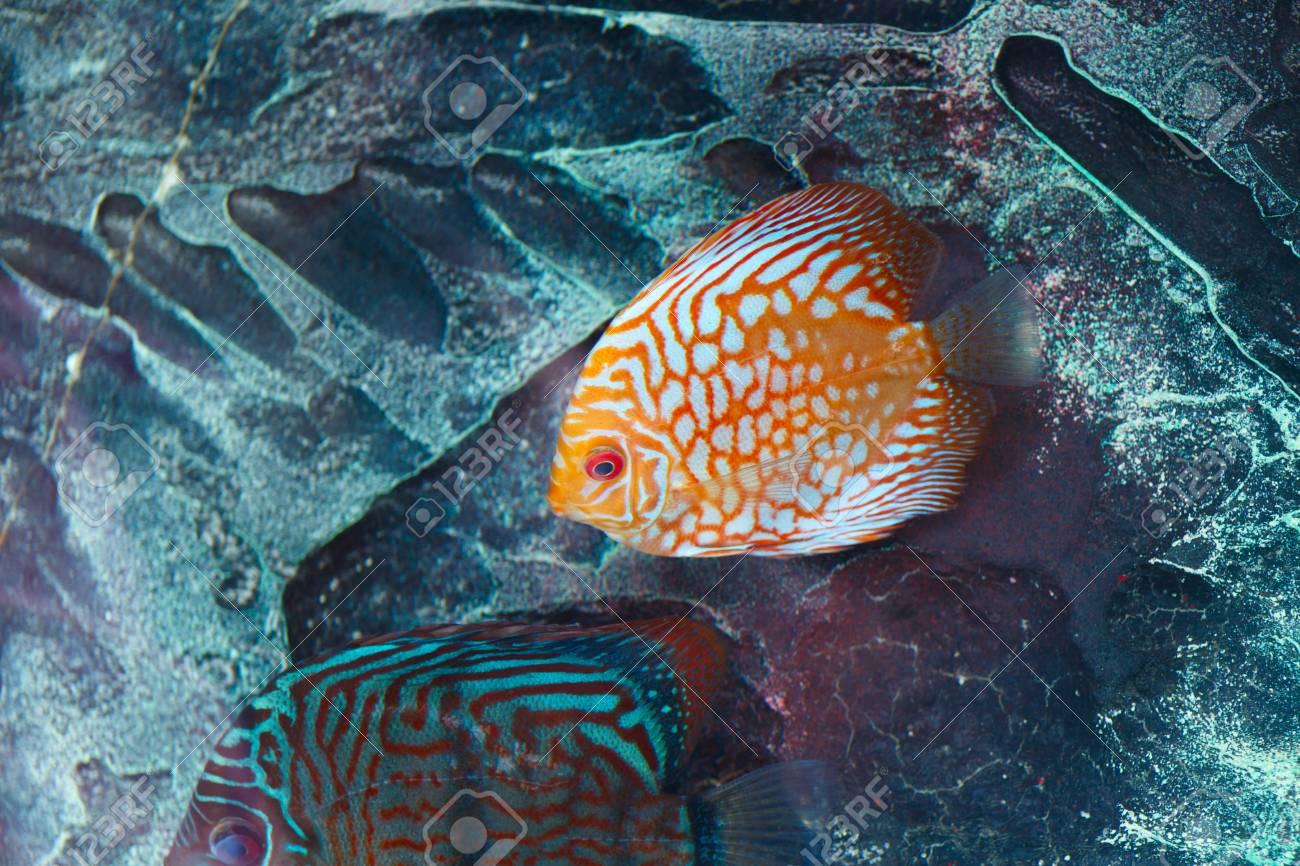 Aquarium Fish Discus In Orange Color From Amazon River Basin Stock