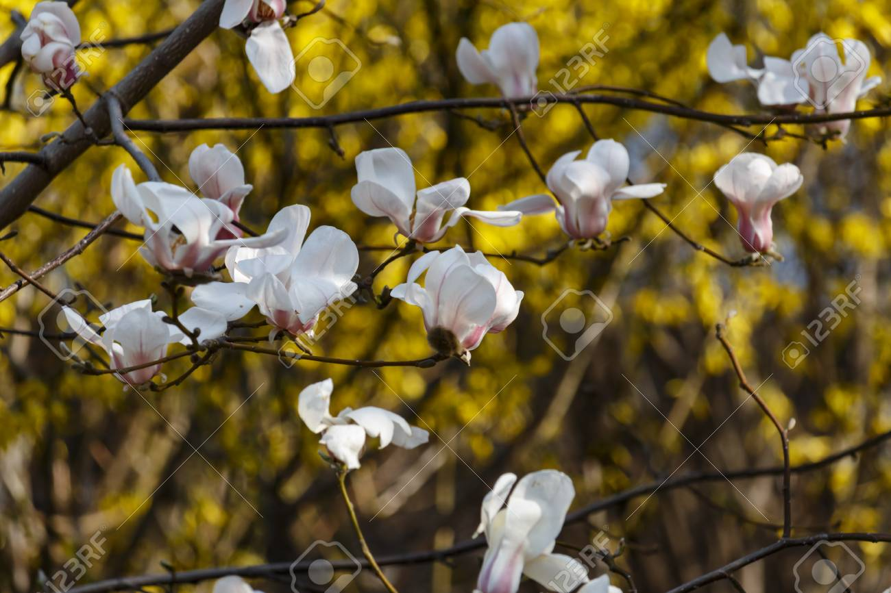 Beautiful Spring Bloom For Magnolia Trees White Flowers On Yellow