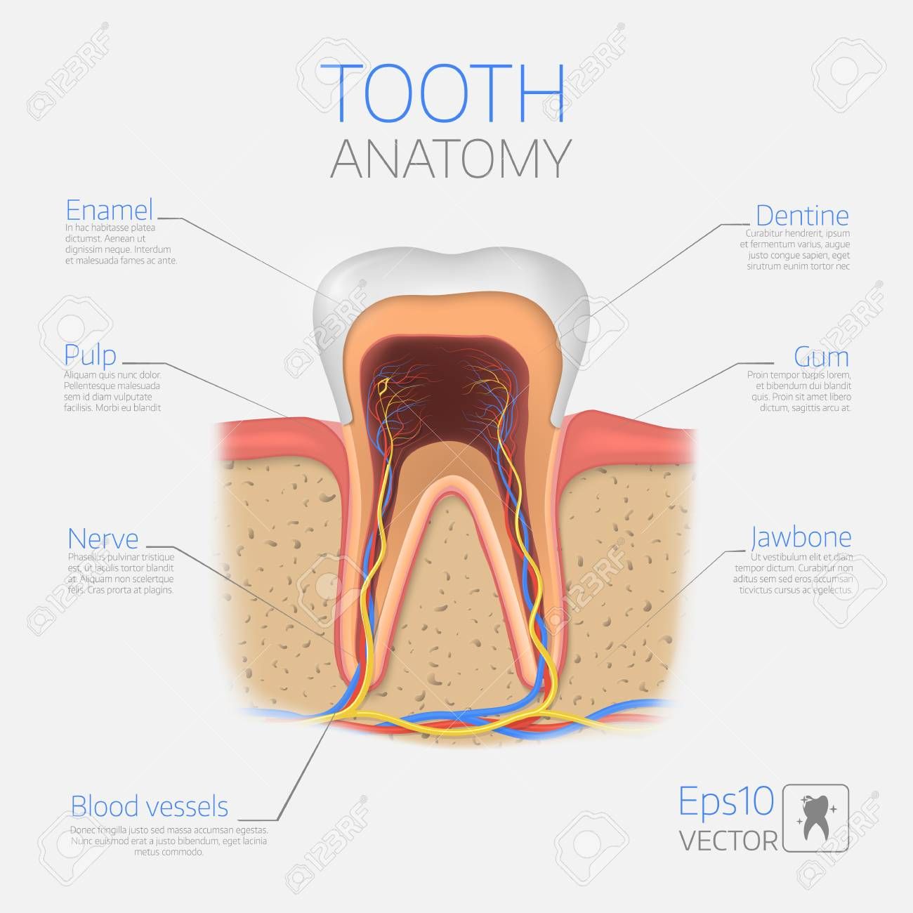 Vector Tooth Structure Cross Section Anatomy With All Parts