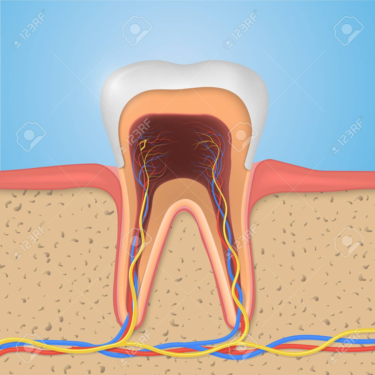 A Vector Tooth Structure. Cross Section Anatomy With All Parts ...