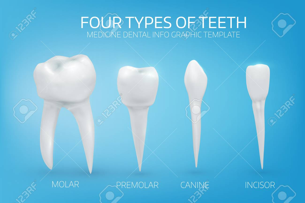 Anatomically Realistic Illustration Of The Types Of Human Teeth