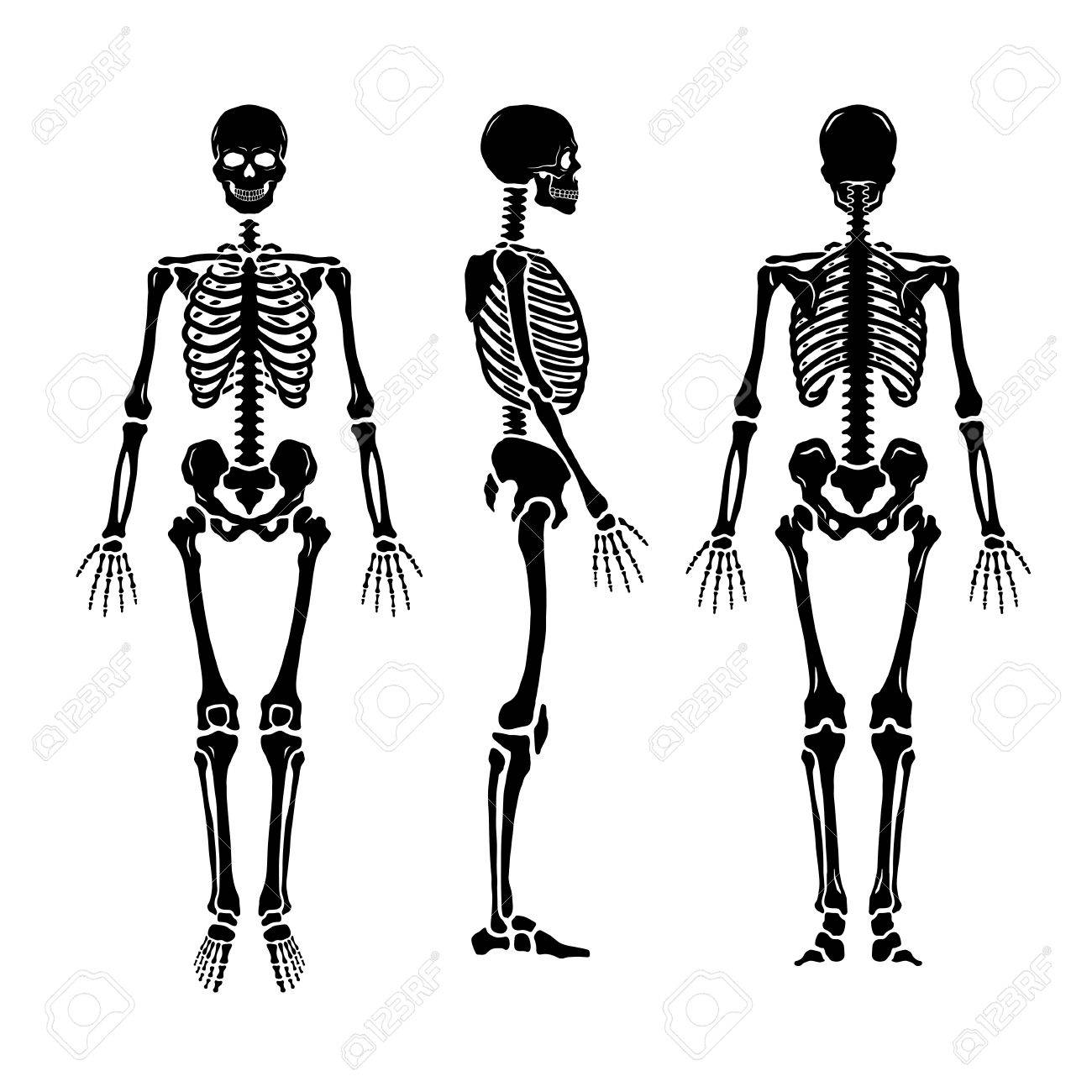 Anatomical human skeleton, in three positions. - 70264593
