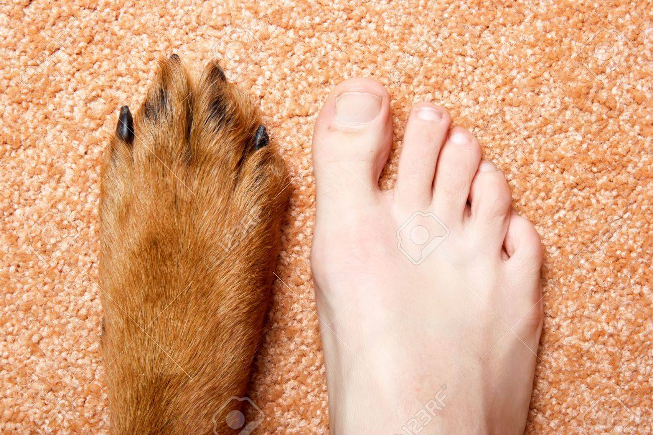 Human foot and paw of a Rottweiler on a pink carpet. - 4599829