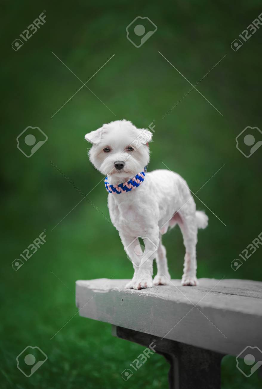 Cute Small White Dog Stands On The Bench In Park Stock Photo