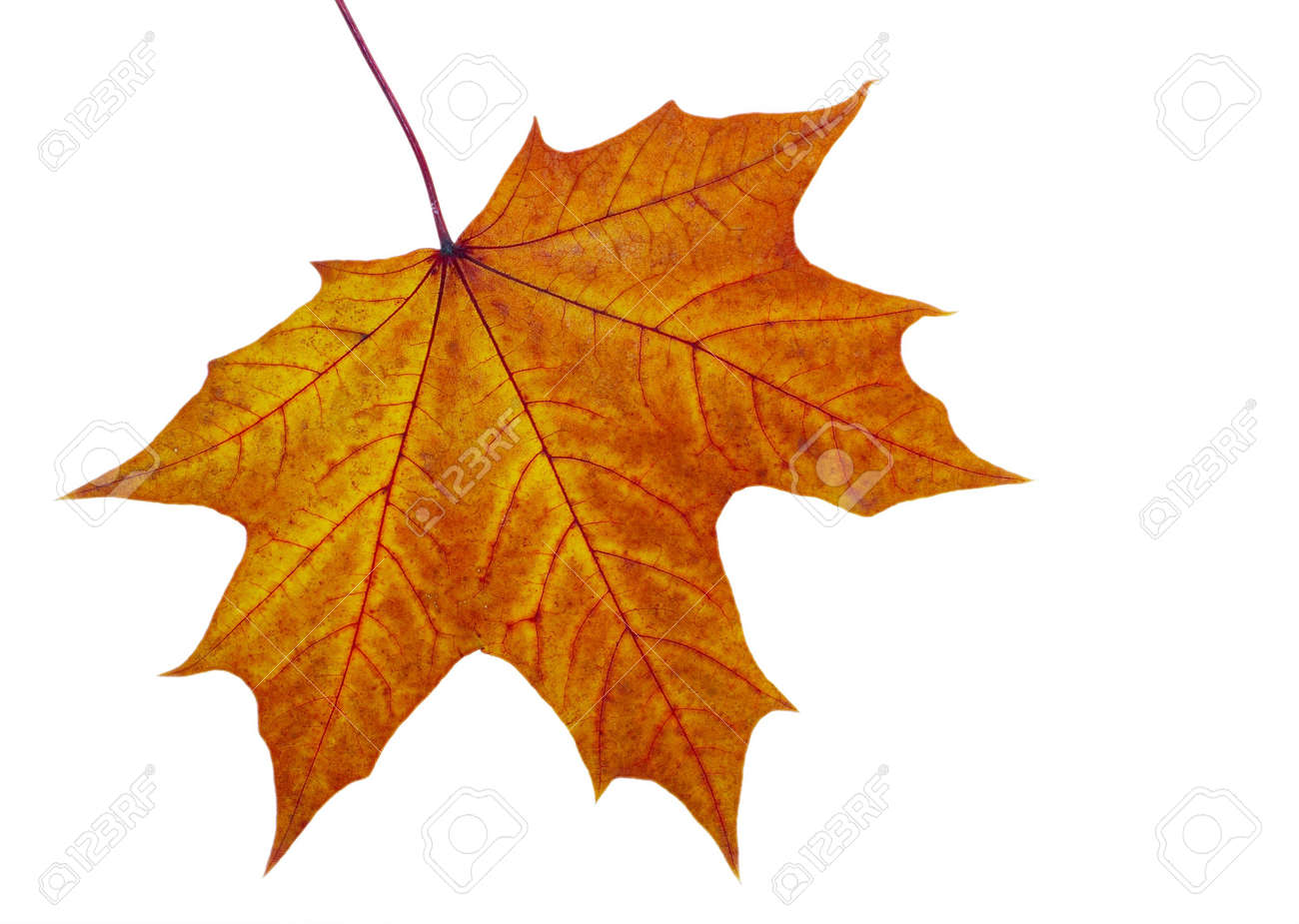 Autumn maple leave on a white background Stock Photo - 1769335