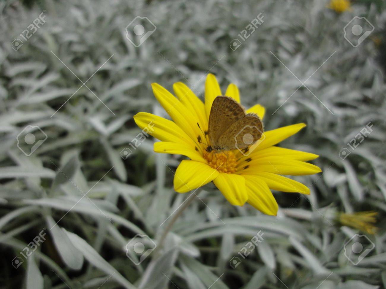 Brown butterfly gathering pollen on a wellow flower, Australia Stock Photo - 9187464