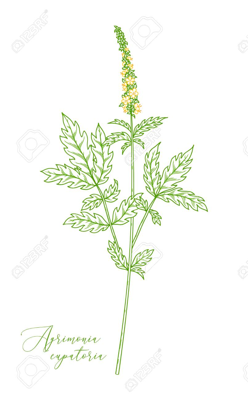 Agrimony Healing Herb With Green With Pinnate Leaves And Tiny