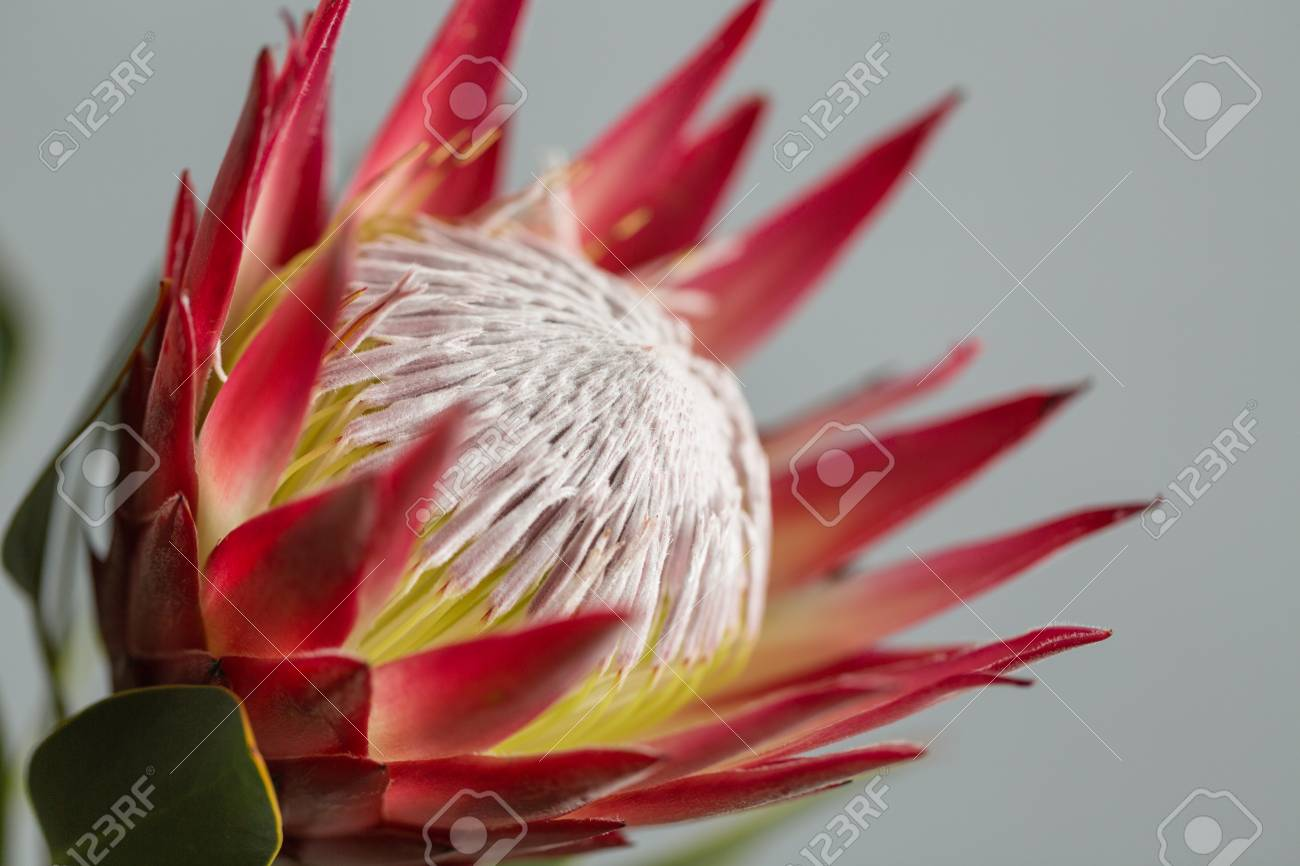 One large flower King Protea. Grows in South Africa. Gray background. - 98281347