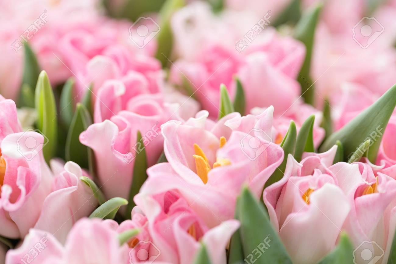 Tulips Of Pink Color Big Buds Floral Natural Backdrop Unusual