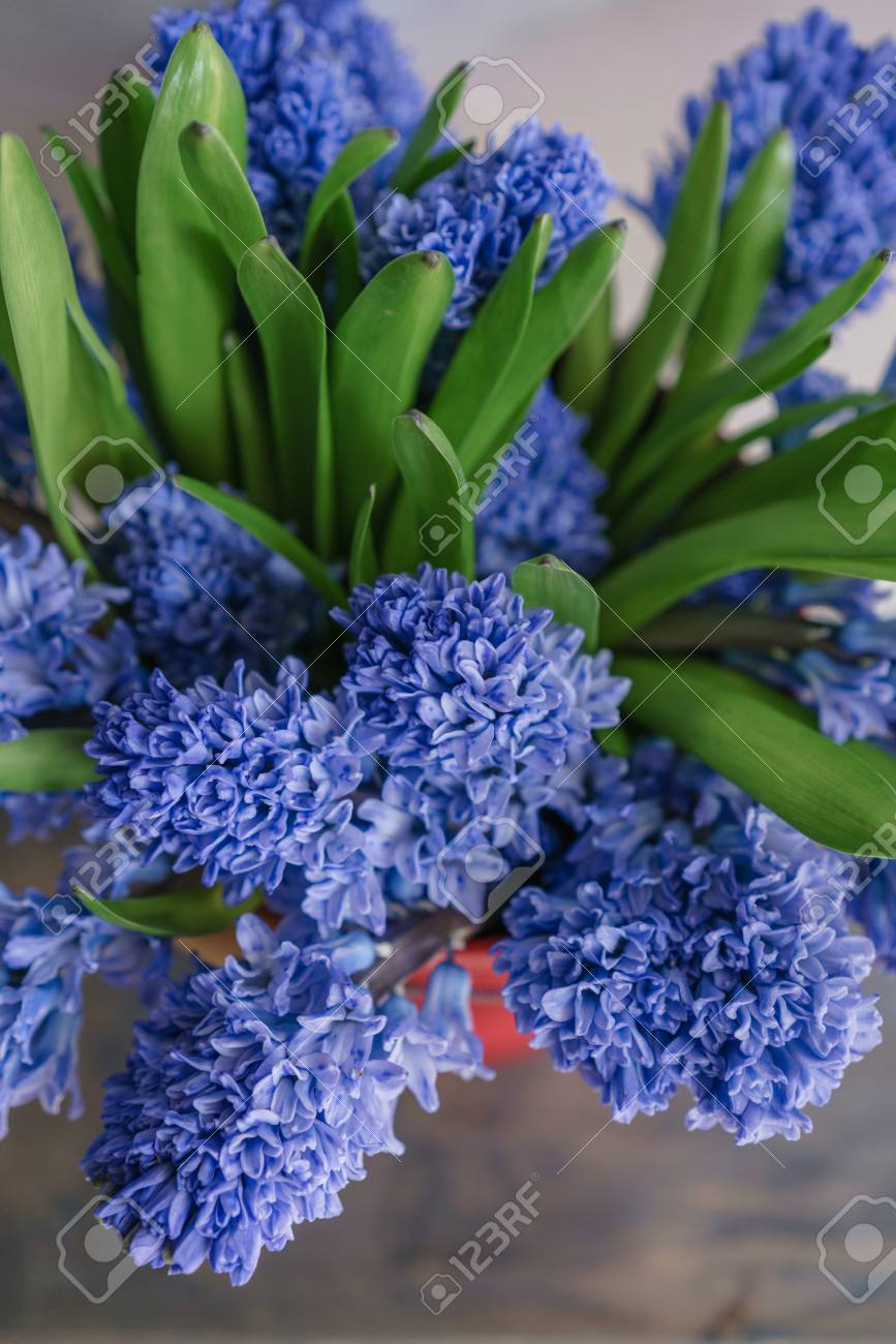 Bouquet Of Beautiful Blue Hyacinths Close Up Spring Flowers Stock