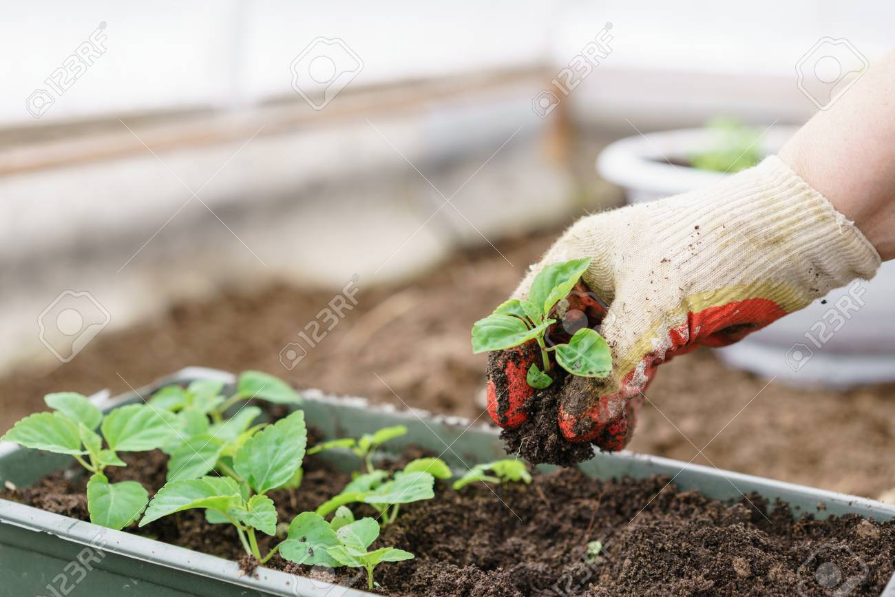 Hands holding beautiful purple basil plants with ground and roots