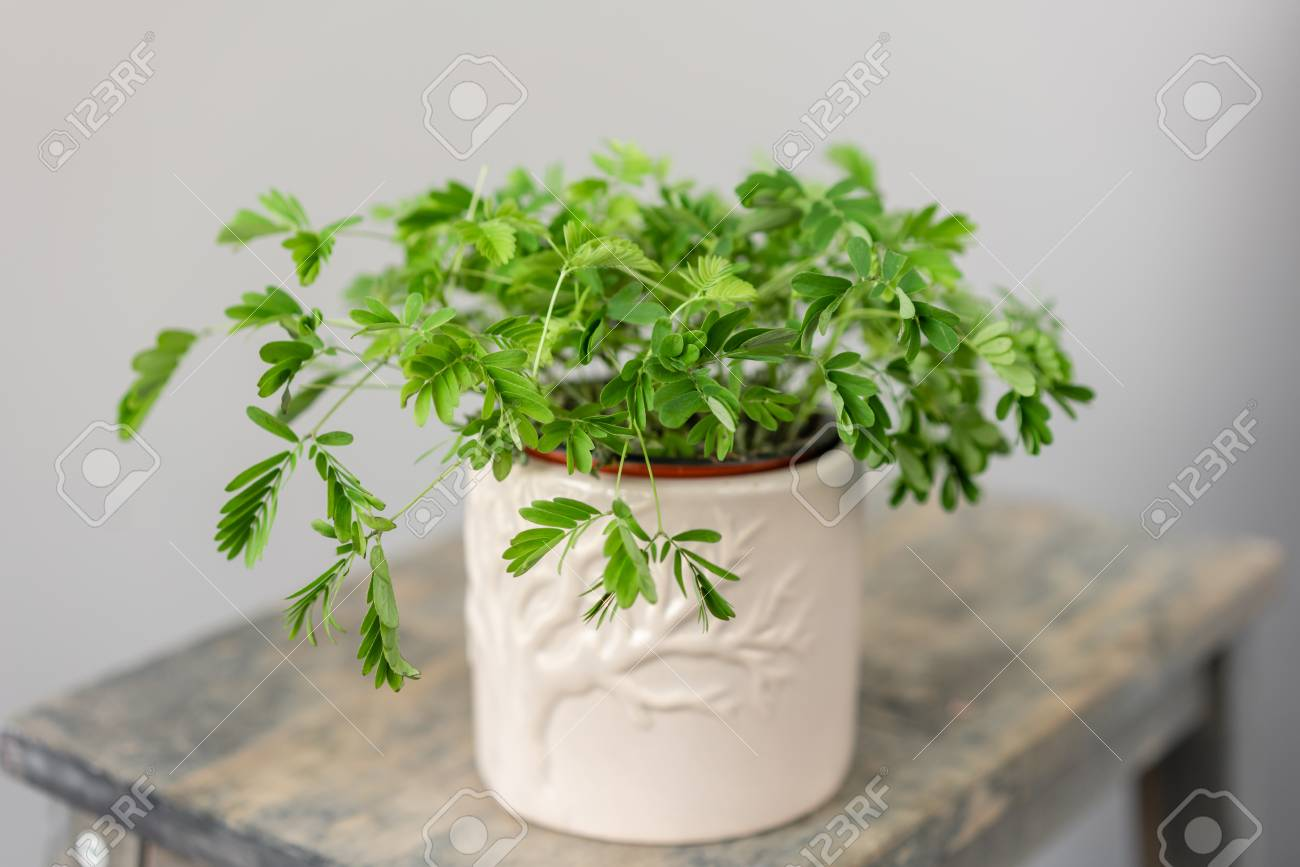 Shameplant plants, Mimosa pudica. Stylish green plant in ceramic.. on ficus elastica house plant, papaya house plant, coffea arabica house plant, ficus microcarpa house plant, hedera helix house plant, bacopa house plant, tamarind house plant, dracaena sanderiana house plant, tradescantia zebrina house plant, sida cordifolia house plant, mimosa plant moving, monstera deliciosa house plant, weed house plant, benefits of mimosa pudica plant, asparagus house plant, rose house plant, ginkgo biloba house plant,