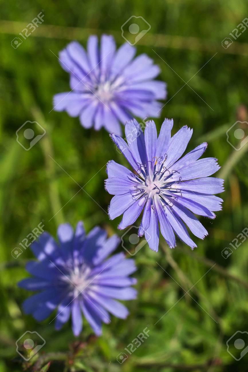 Chicory Standard-Bild - 43531375