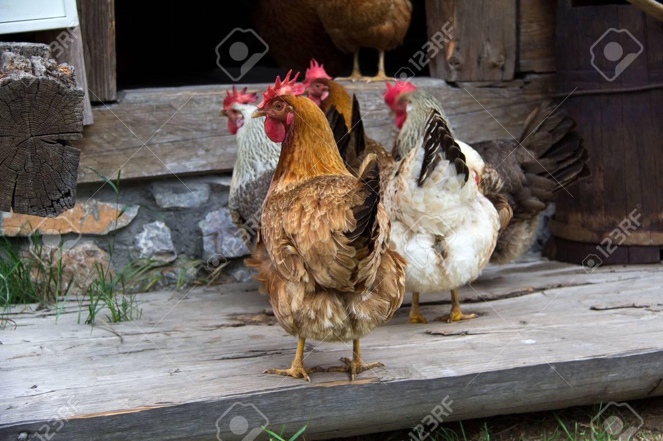 Chickens on homesteading Standard-Bild - 44348339