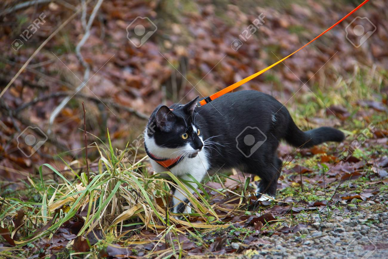 Domestic cat out on a leash Standard-Bild - 44977330