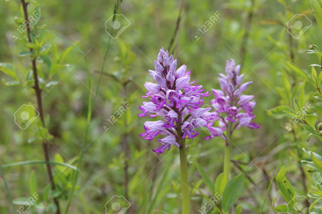 Wild Orchid Very Beautiful And Rare Flowers Stock Photo Picture And Royalty Free Image Image 79299533