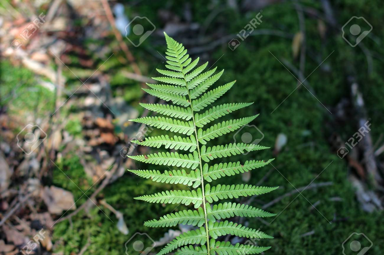 Fern leaves  Fern - the oldest plant on Earth Standard-Bild - 87954896