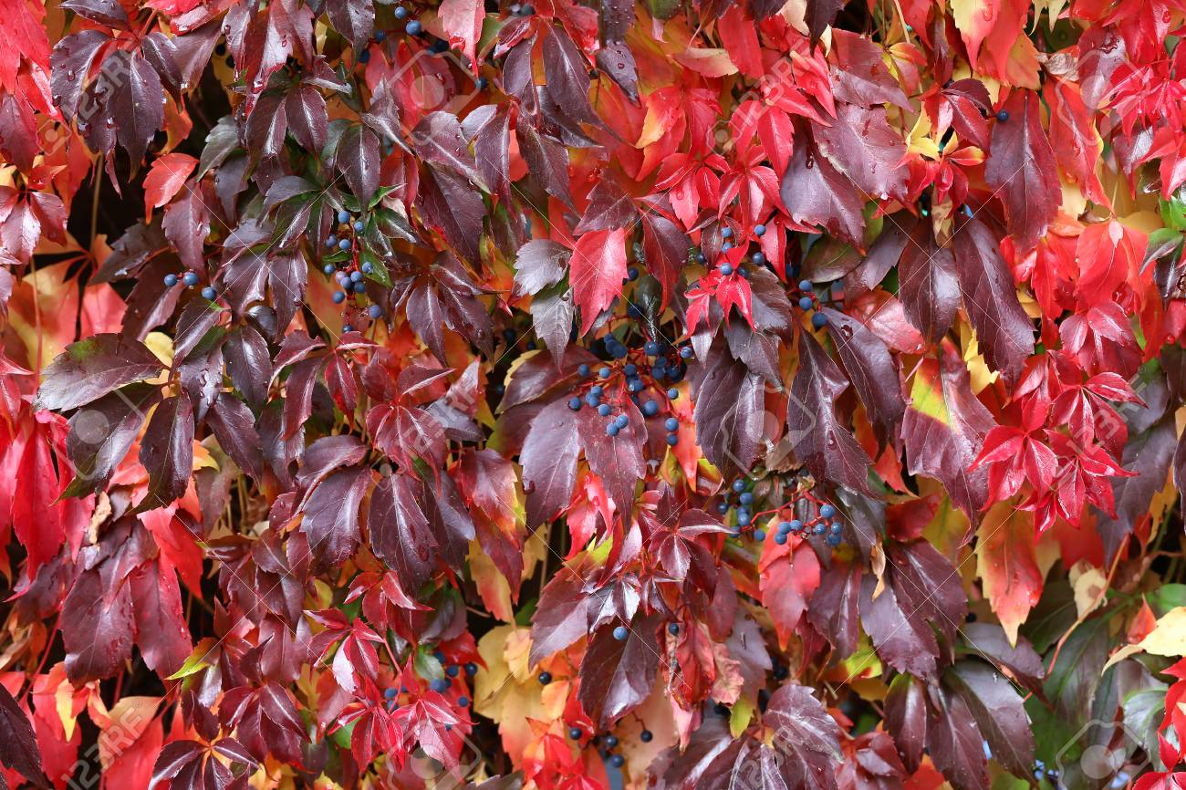 Background / Beautiful autumn leaves of wild grapes Standard-Bild - 88207829