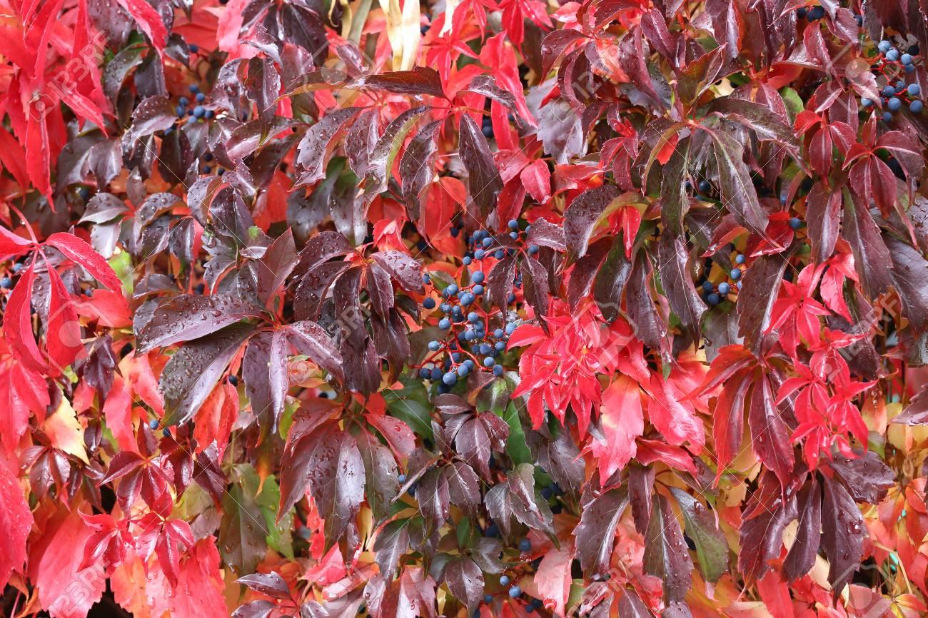 Background / Beautiful autumn leaves of wild grapes Standard-Bild - 88207832