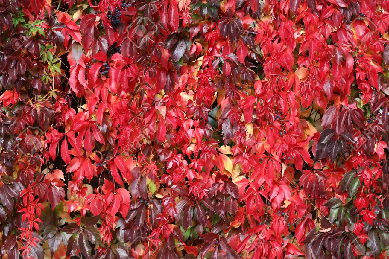 Hintergrund / Schöne Herbstblätter von wilden Trauben Standard-Bild - 88207840