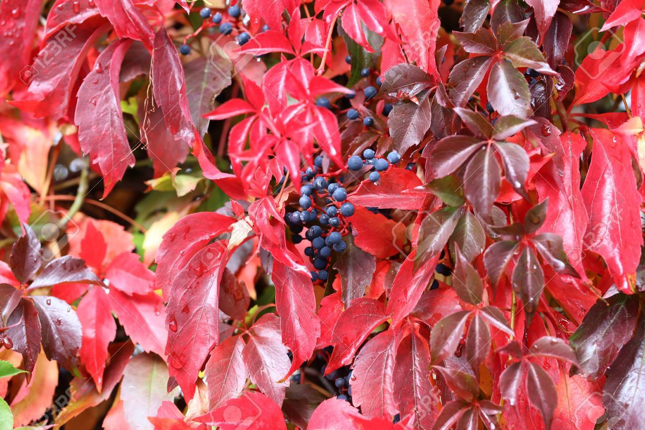 Background / Beautiful autumn leaves of wild grapes Standard-Bild - 88207841