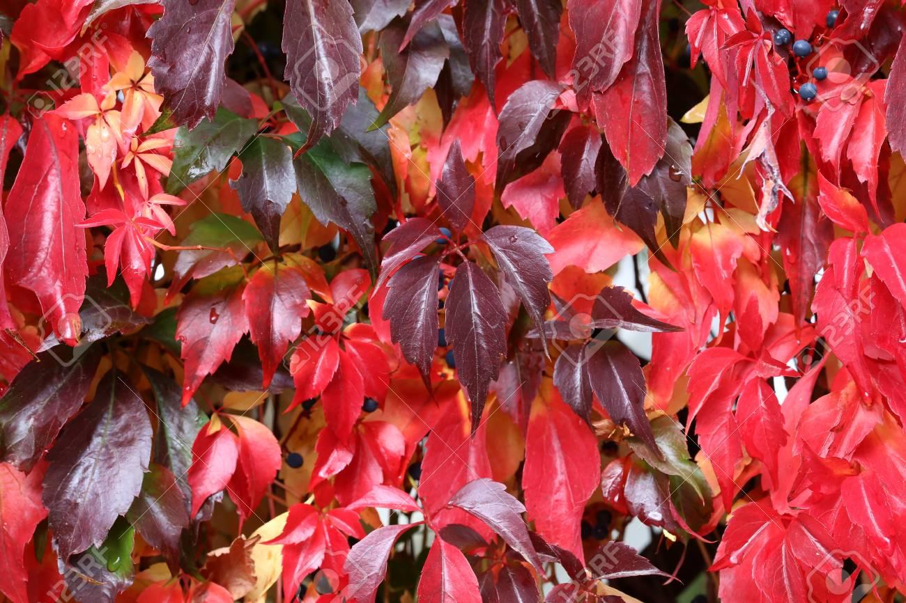 Background / Beautiful autumn leaves of wild grapes Standard-Bild - 88207842
