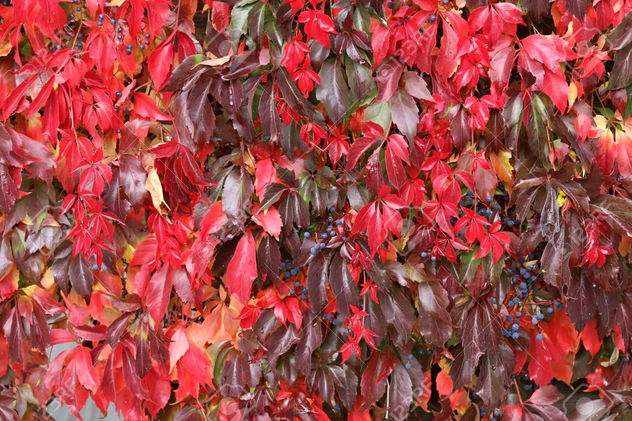 Background / Beautiful autumn leaves of wild grapes Standard-Bild - 88207843