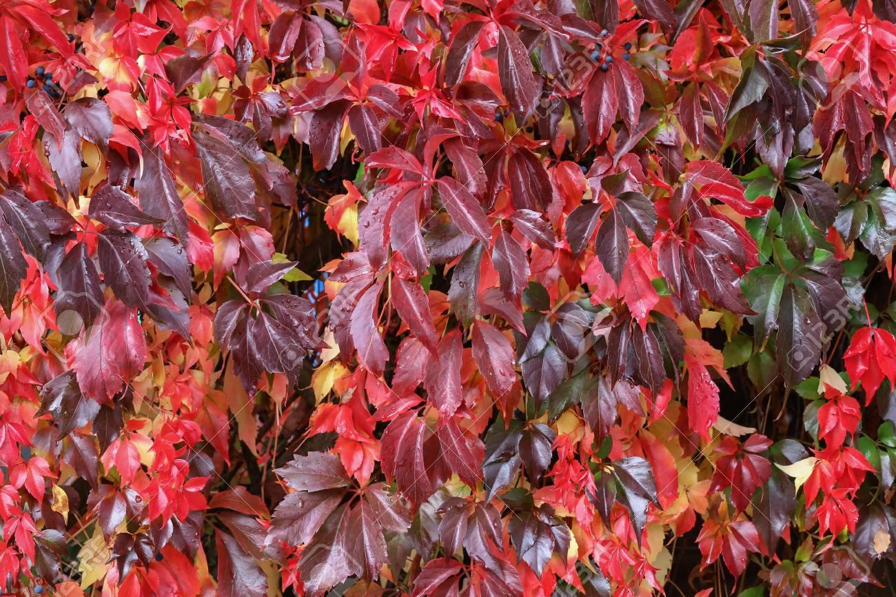 Background / Beautiful autumn leaves of wild grapes Standard-Bild - 88207844