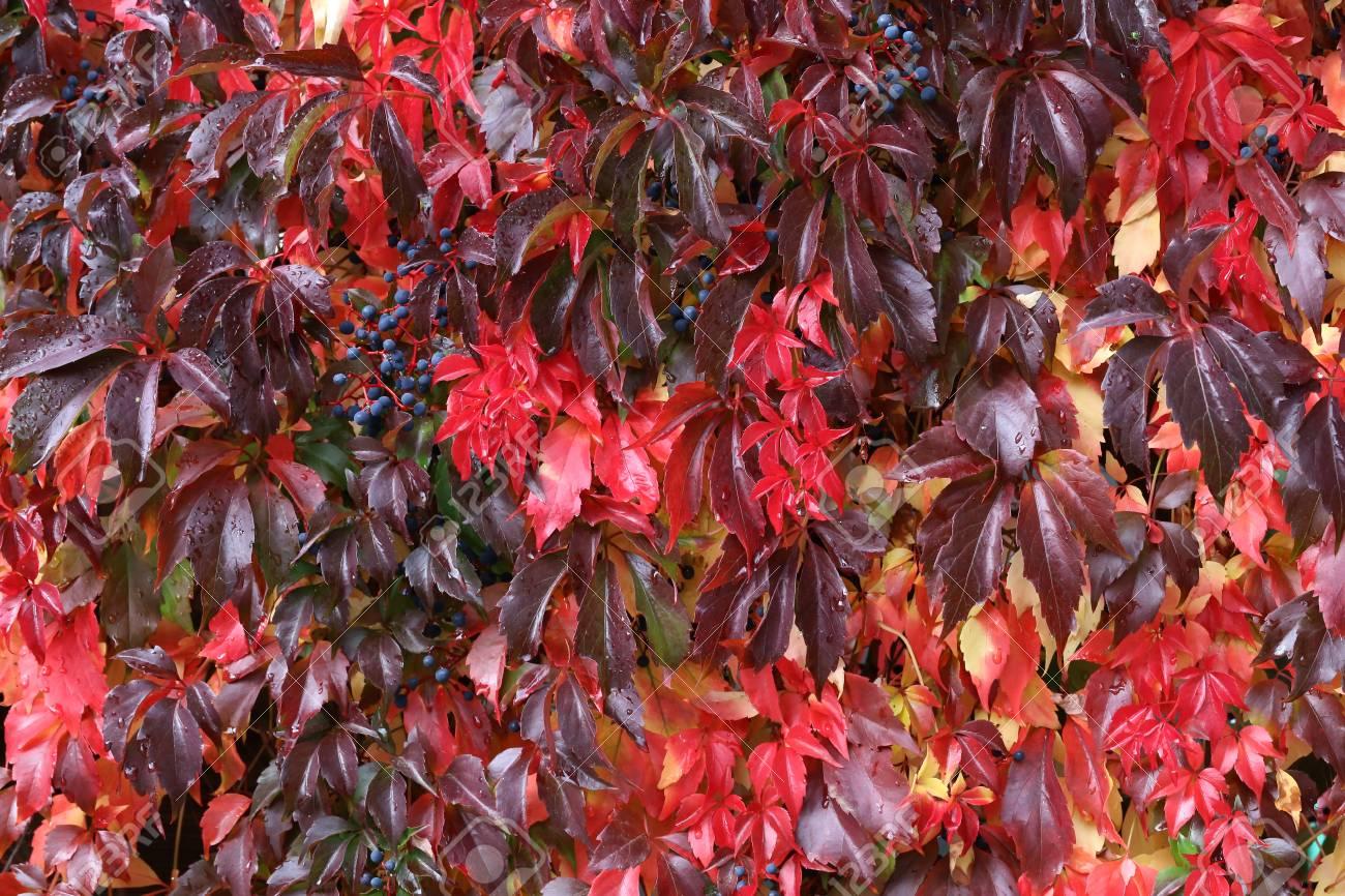 Background / Beautiful autumn leaves of wild grapes Standard-Bild - 88207845