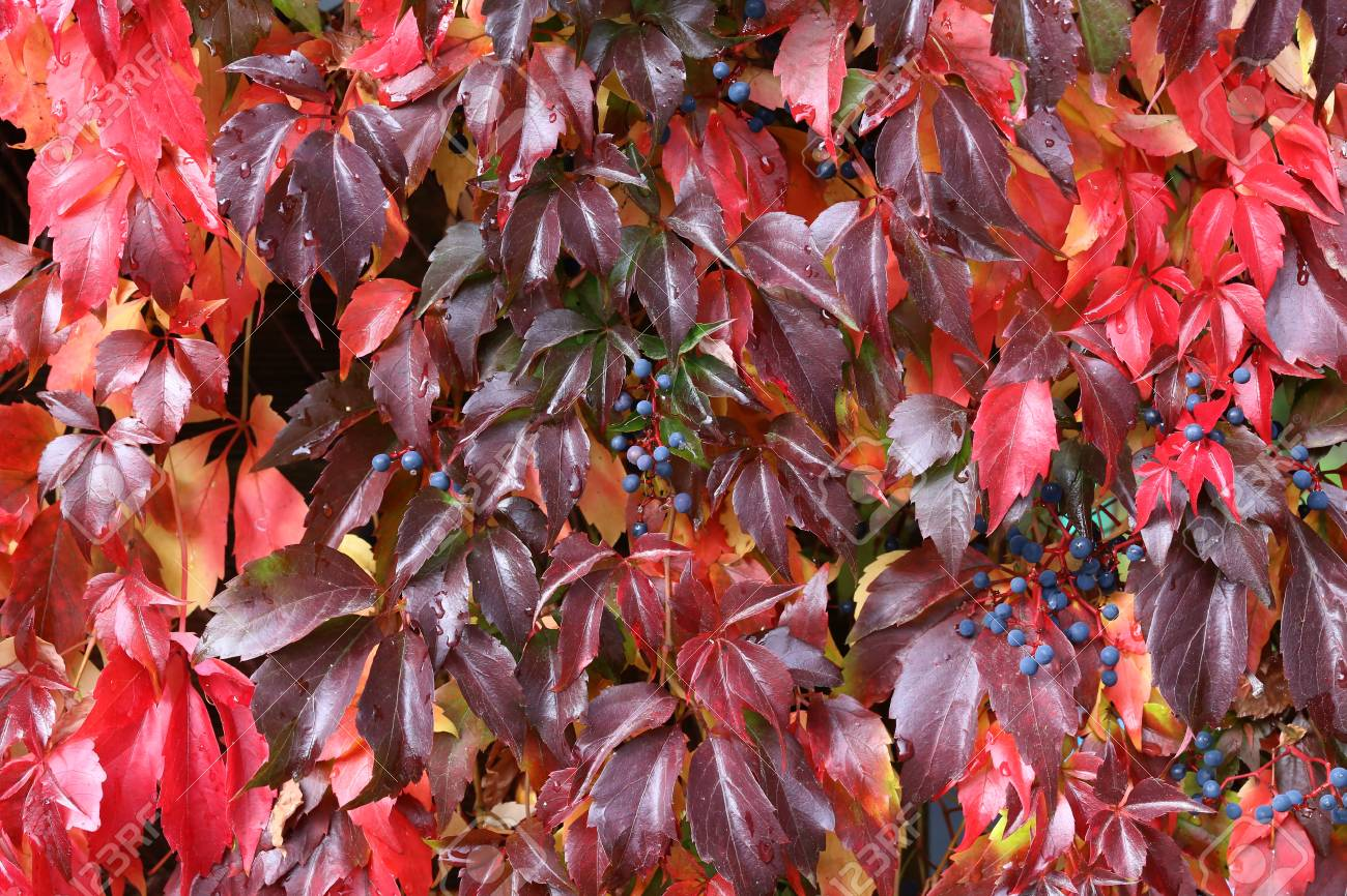 Background / Beautiful autumn leaves of wild grapes Standard-Bild - 88207846