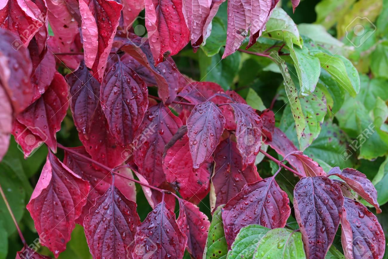 Herbst rote Bl?tter Standard-Bild - 87981171