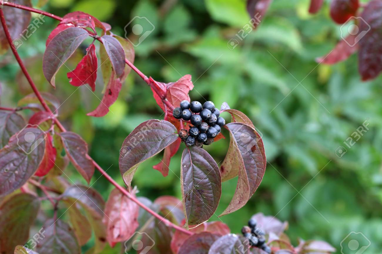 Black berries on branches Standard-Bild - 87954879