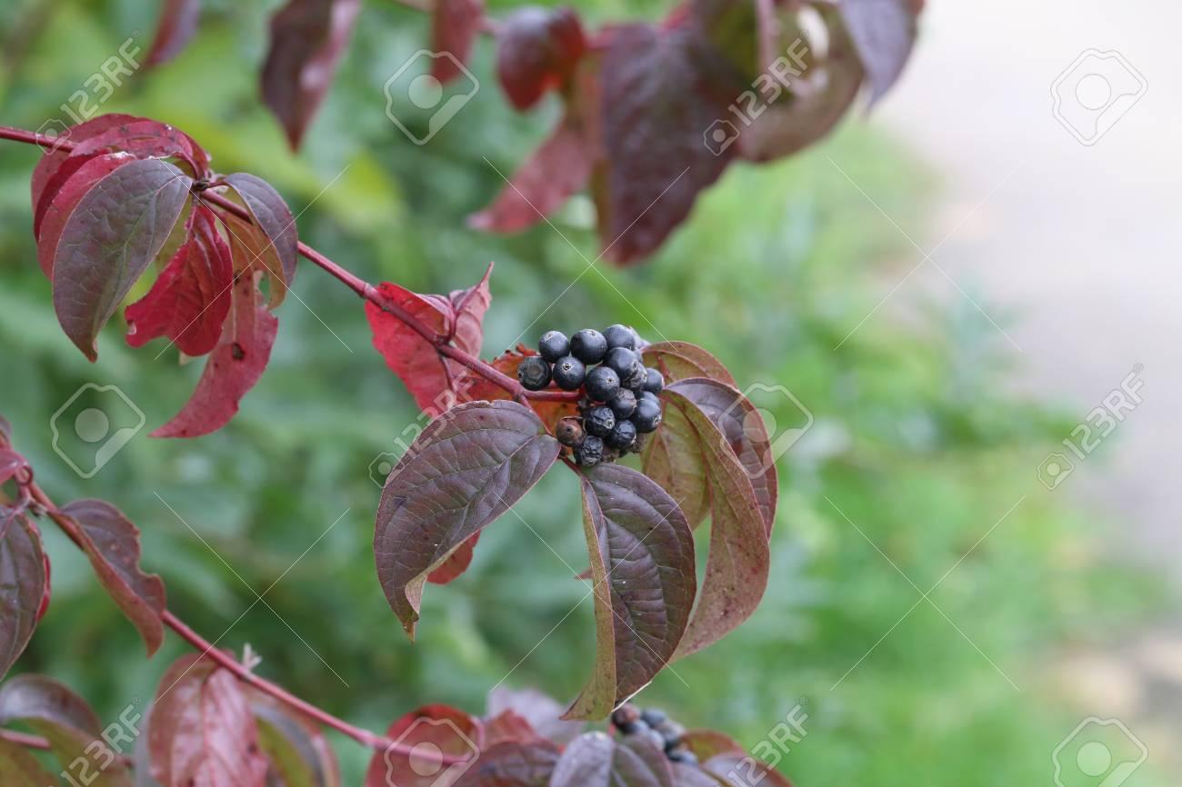 Schwarze Beeren an Zweigen Standard-Bild - 87945405