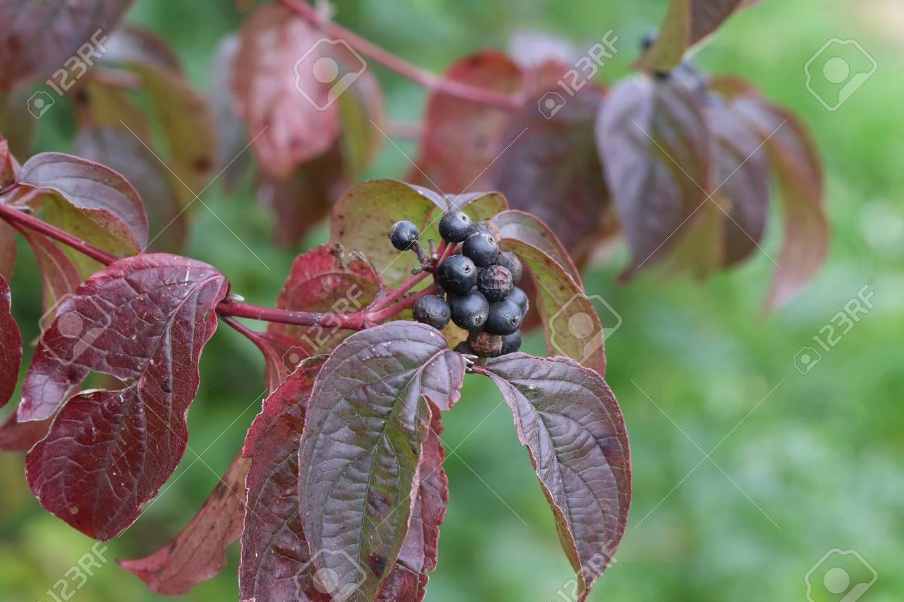Schwarze Beeren an Zweigen Standard-Bild - 87981192