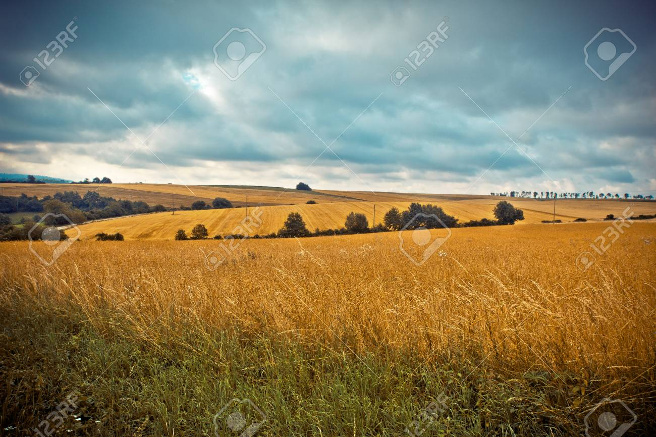 Rural landscape  Fields with mature wheat Standard-Bild - 88025825