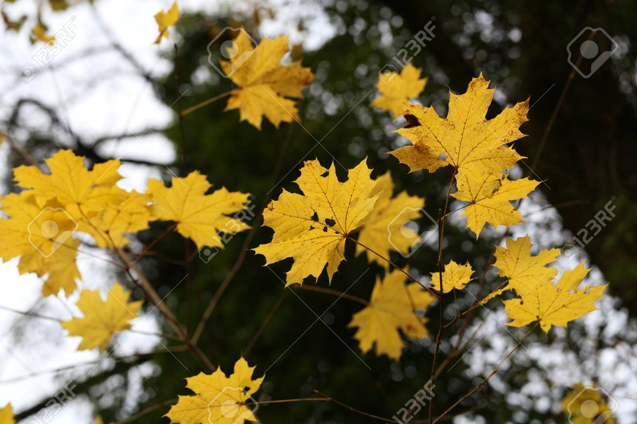 Beautiful autumn leaves / Beautiful autumn leaves on a tree in the forest Standard-Bild - 92993599