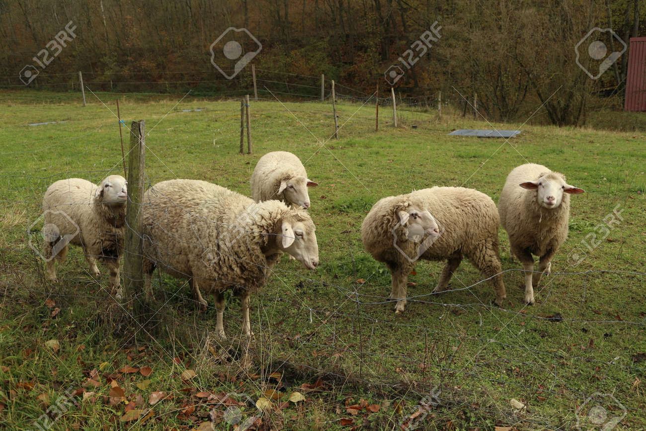 A herd of white sheep grazes on a fenced pasture. - 134420267