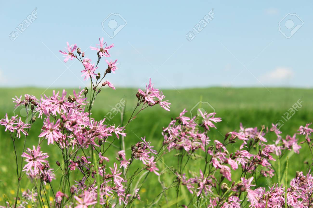 Coronaria flos cuculi the pink field flowers Stock Photo - 8570952