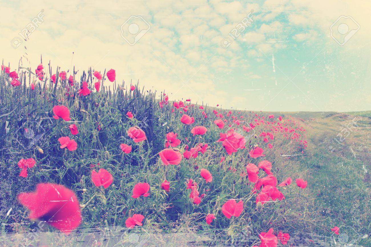 Fleur Paysage dedans champ de coquelicots rouges en fleurs, paysage d\u0027été,  vintage