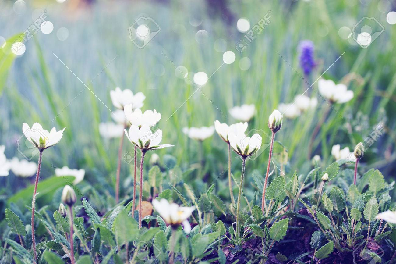 Small White Flowers On The Lawn In The Garden Stock Photo Picture