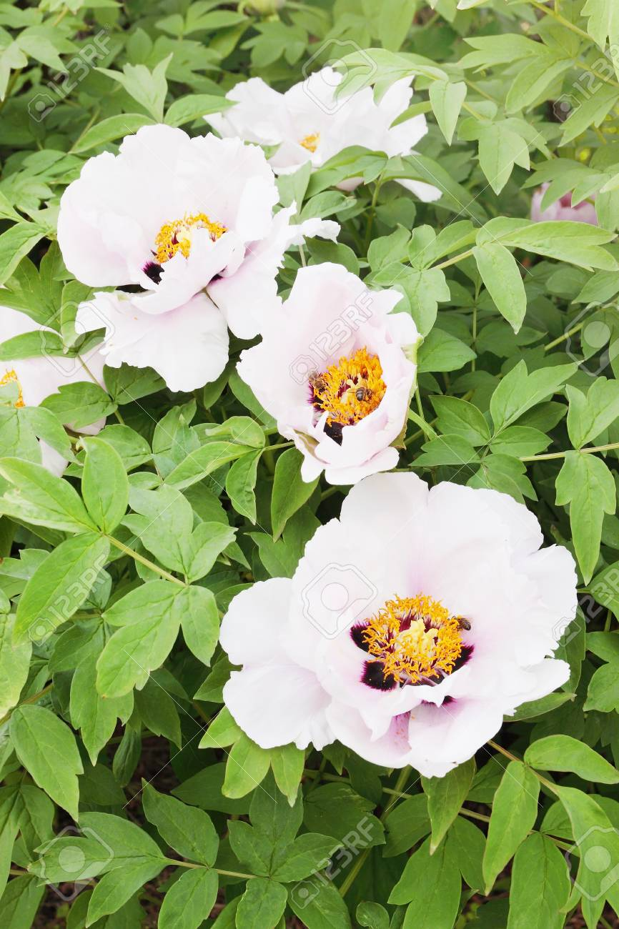 Large White Flower Blossomed Tree Peony Stock Photo Picture And