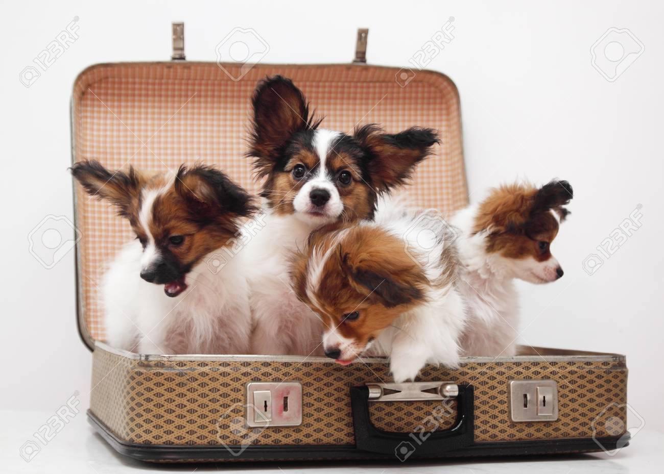 Four Papillon Puppies In The Suitcase Isolated On White Background