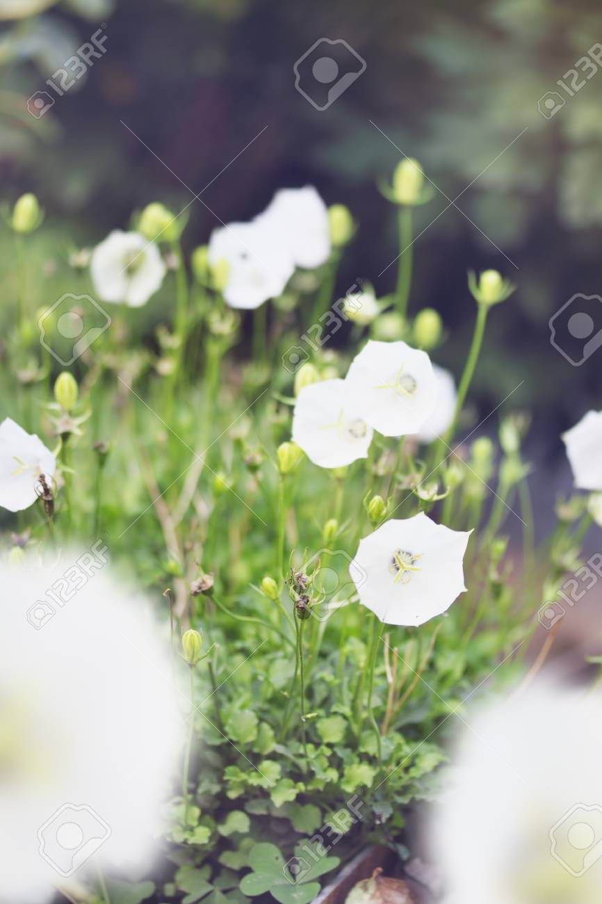 Undersized White Bells Flowers In The Garden, Tinted Stock Photo ...