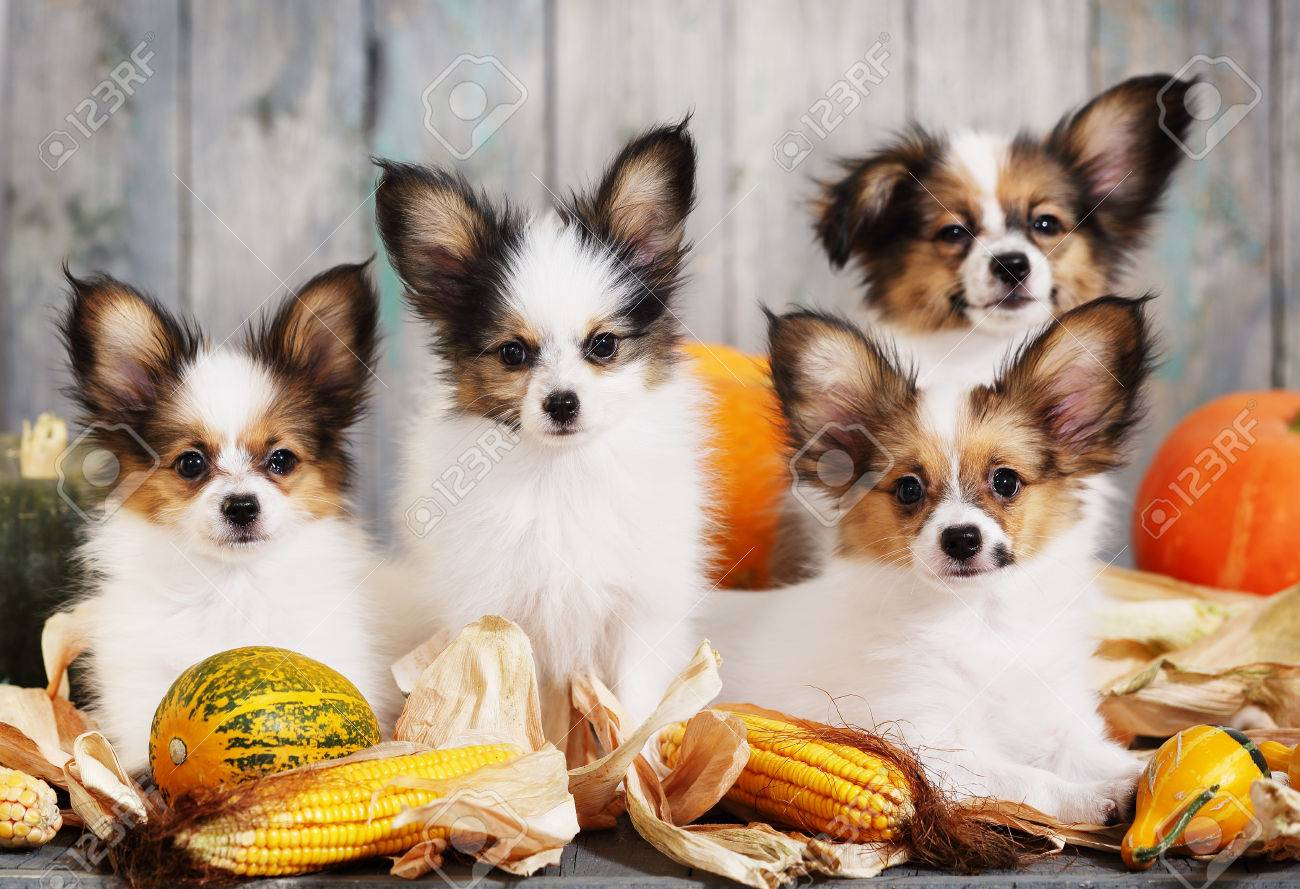 Portraits Of Four Puppies Papillon Breed With Pumpkins Halloween