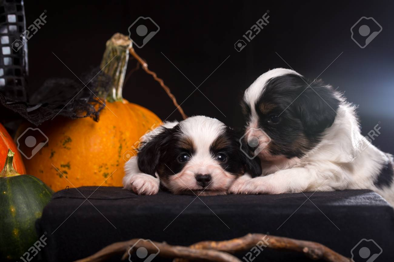 Two Puppies Lies Near The Halloween Pumpkins Stock Photo Picture