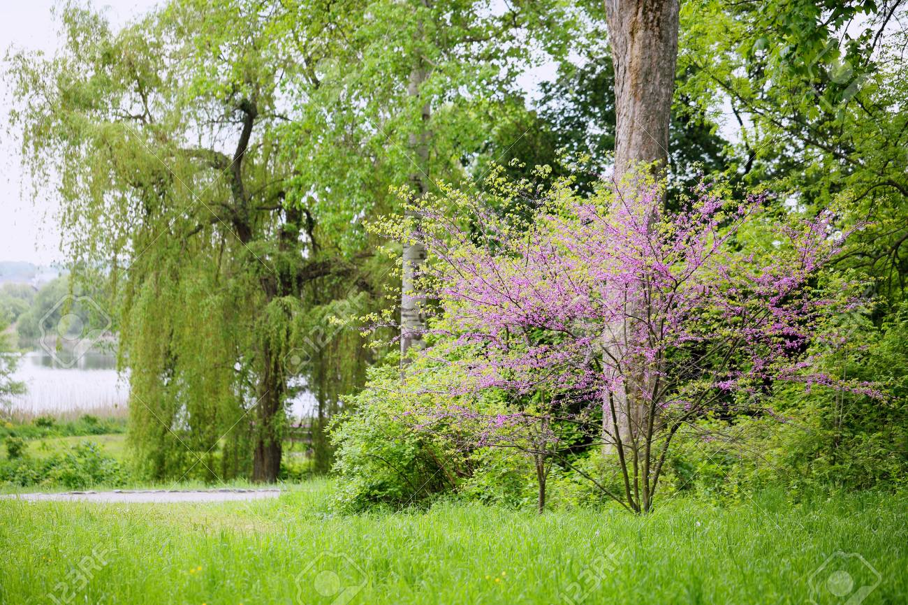 Redbud Tree In The Park Stock Photo Picture And Royalty Free