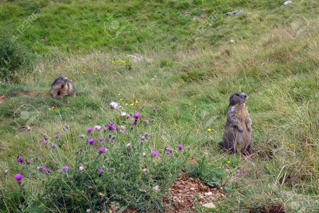 Brown Steppe Marmot On Monte Baldo 4a8a87e0125